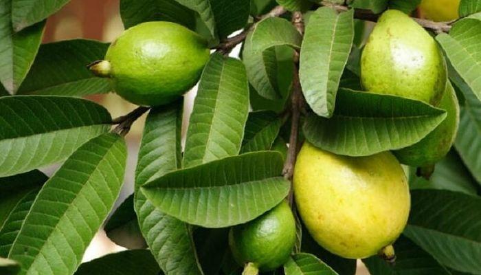 10 beneficios de las hojas de guayaba para el cabello
